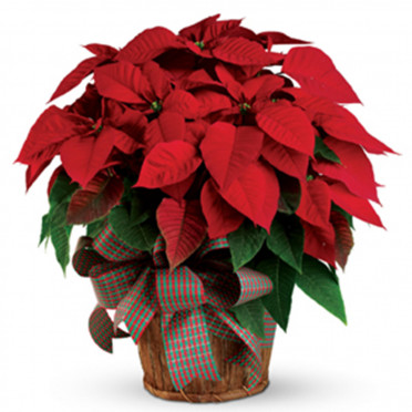 Christmas Poinsettia - Out of Stock